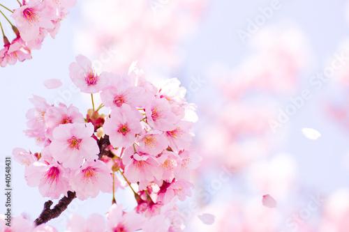 Aluminium Kersen 満開の桜