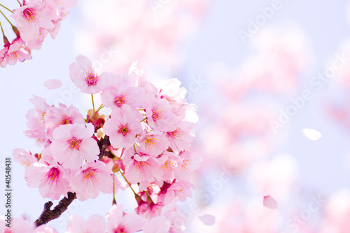 Keuken foto achterwand Kersen 満開の桜
