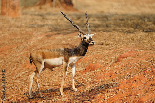 Indian Black Buck Antelope (Antelope cervicapra L.)