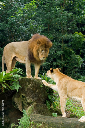 Male and female lions at the Singapore Zoo