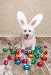 Easter bunny dog looking at chocolate eggs