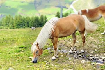 cavallo con criniera bianca al pascolo