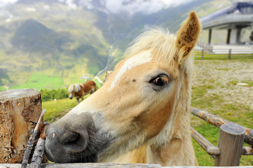 cavallo con criniera bianca in maneggio