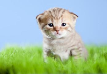 little tabby kitten Scottish on green grass