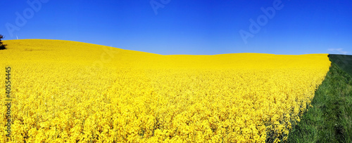 field flower yellow rapeseed