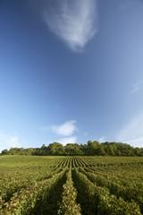Vines near Pupillin in the Jura, France