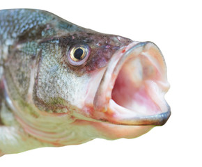 Perch fish with open mouth