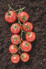 Tomatoes on the vine on soil