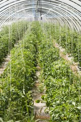 Tomatoes in a polytunnel