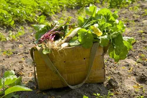 Basket of fresh vegetables in a field