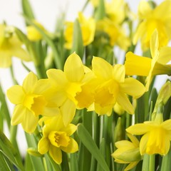 Flowering daffodils