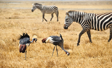 Gray Crowned Crane and zebras in Kenya