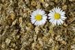 Daisy tea with fresh daisies