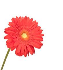 Rote Blume freigestellt