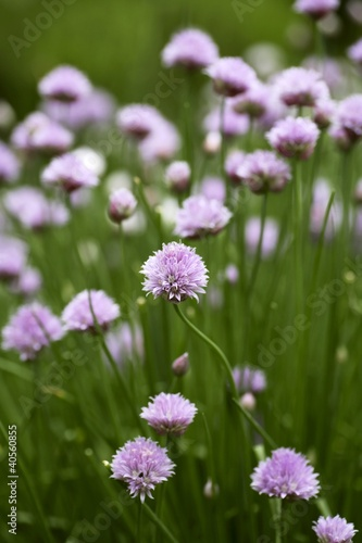 Flowering chives in the field