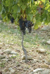 Merlot grapes on the vine (France)