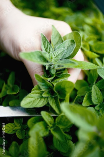 Hand cutting fresh marjoram in a herb bed