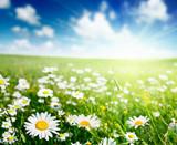 Fototapeta niebieski - jaskier - Kwiat