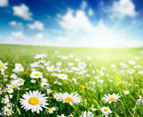 pole-kwiatow-stokrotek-latem