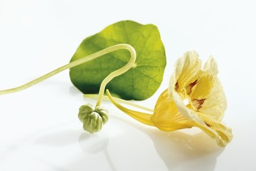 Nasturtium with yellow flower and seed