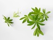 Fresh woodruff with flower