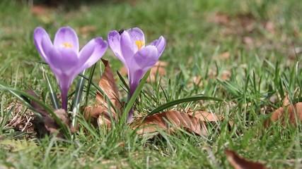 Fly lands on crocus flower in spring.
