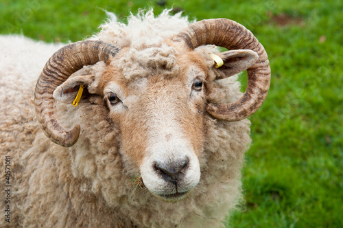 Canvas Schapen Sheep with horns