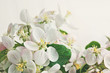Apple blossoms on cream color background