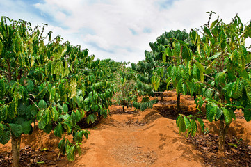 Coffee plantation - Dalat, Vietnam