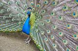 Fototapeta niebieski - gody - Ptak