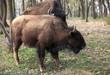 jeune bison d'Amérique