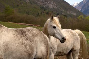 cavalli bianchi di montagna