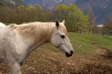 cavallo bianco profilo