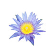 The blooming blue lotus on white background