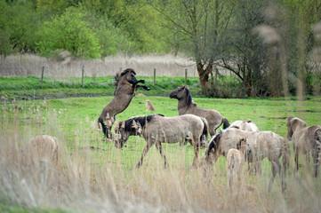 Prancing wild horses in spring