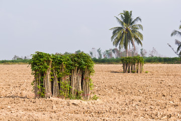 Bunches of breeding sapling of cassava