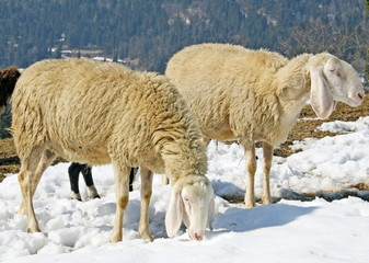 sheep grazing in the mountains in the snow in search of grass