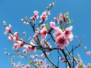 pink flowers of peach tree bloom in spring