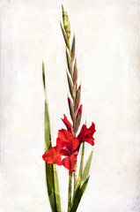 Watercolor red gladiolus