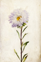 Watercolor lilac aster