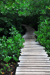 Beautiful green mangrove forest with boardwalk, Zanzibar