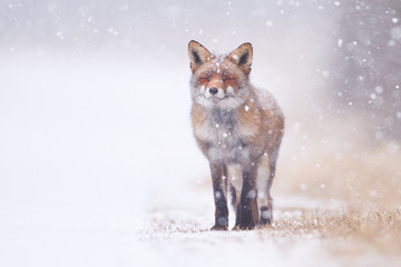 red fox in