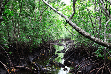 Beautiful green mangrove forest, Zanzibar