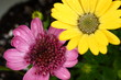 Pink and Gold Colored African Daisies