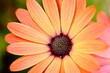 Peach Colored African Daisy Macro