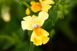 Yellow Nemesia Flower Macro