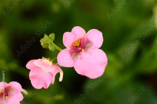 Pink Diascia Flower Macro