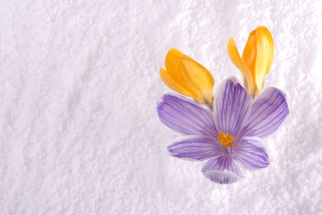 Crocus in Snow Striped and Yellow