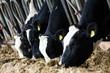 Dairy cows in a farm.