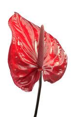 Anthurium andraeanum  Flamingo lily